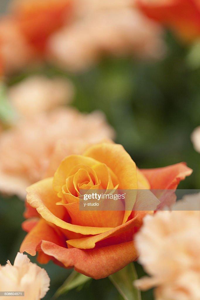 Rosas de Laranja : Foto de stock
