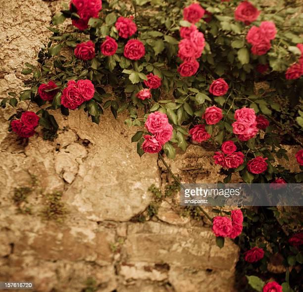 Rosen auf einer Wand