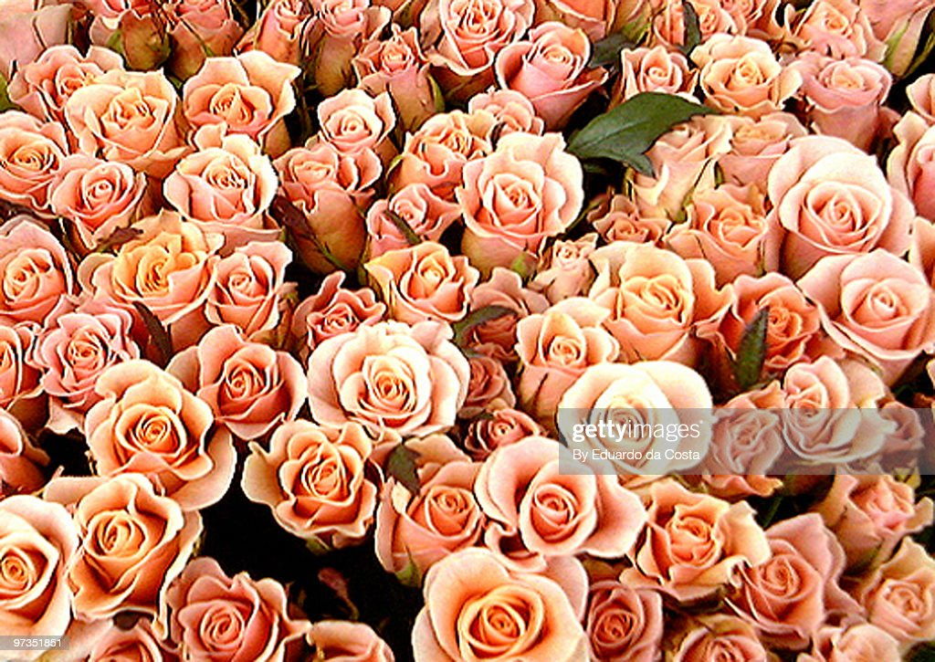 Roses : Stock Photo