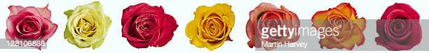 Roses (Rosa spp.) Row of brightly colored roses on white background. (Digital composite)