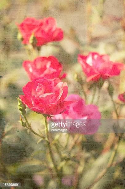 Rosen mit grunge-lagig