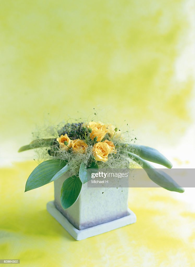 Rose,smoke bush and plantain lily in pot : Stock Photo