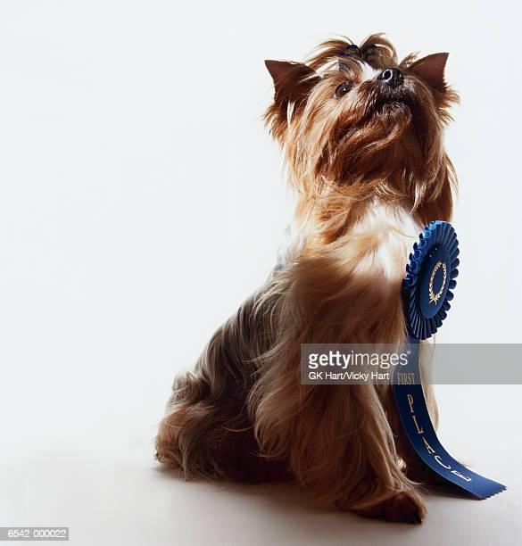 Rosette on Yorkshire Terrier