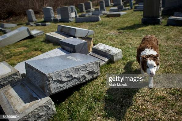 'Rosie' a Border Collie walks past vandalized Jewish tombstones lat Mount Carmel Cemetery February 27 2017 in Philadelphia Pennsylvania Police are...