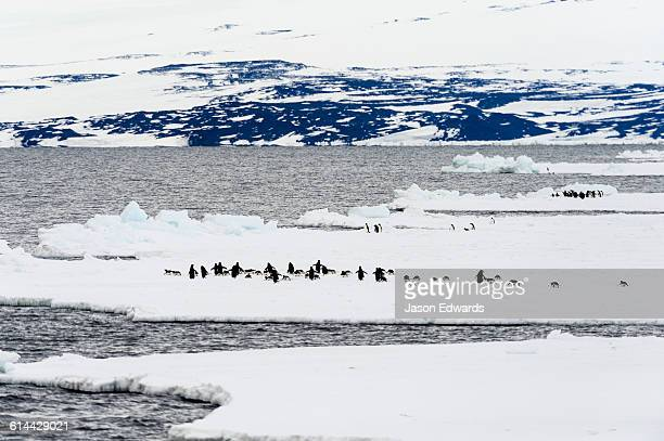 Emperor and Adelie Penguins congregate on the sea ice edge in Antarctica.