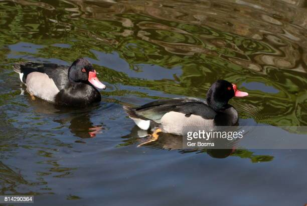 Rosy Billed Pochard Duo
