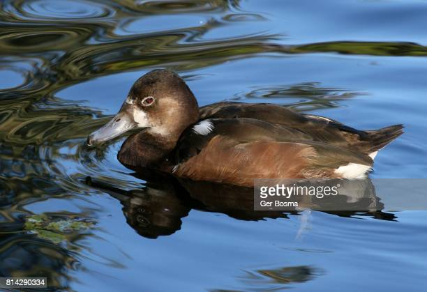 Rosy Billed Pochard (Netta peposaca)