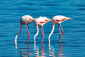 beautiful bird Rosy Flamingo in Walvis Bay reservation, Namibia, Safari wildlife