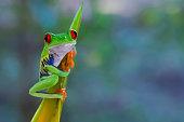Ein Rotaugenlaubfrosch im Regenwald Costa Ricas klammert sich an eine Helekonie