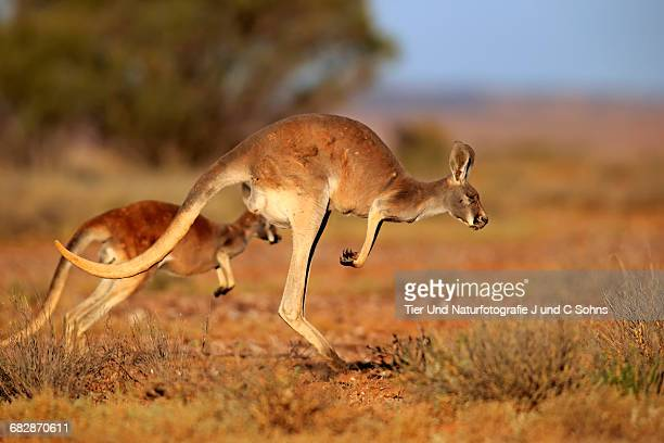 Rotes Riesenkaenguru, (Macropus rufus)