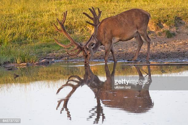 Rothirsch mit Spiegelbild beim TrinkenDaenemark