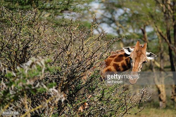 Rothschild Giraffe peers from behind a thorn bush inside the Lake Nakuru National Park on February 27 2016 in Nakuru Kenya The east African country...
