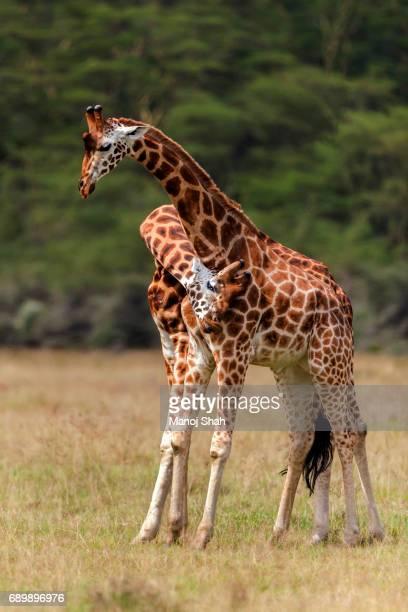 Rothschilds giraffes necking.