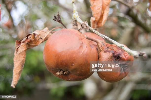 Rotten Apples On Branch