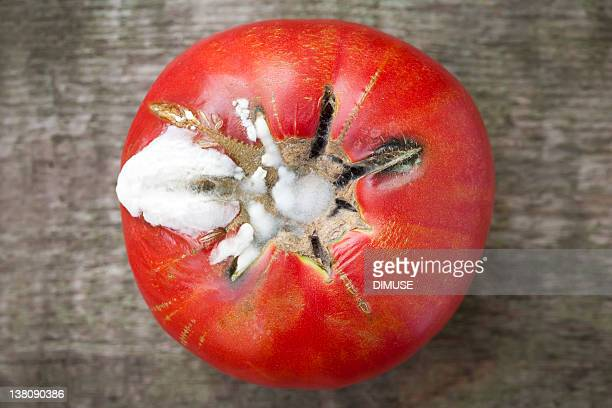 Rotten Moldy tomate
