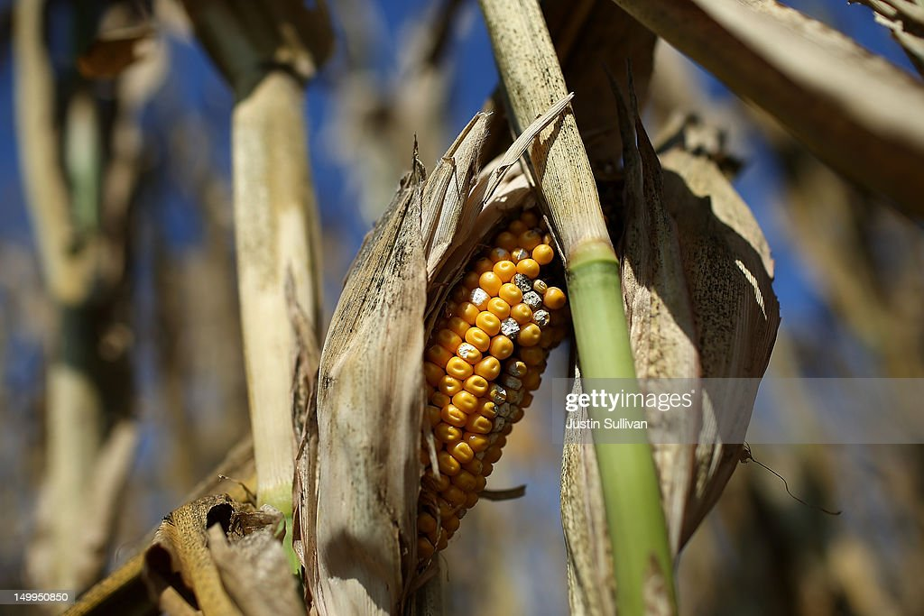 A rotting ear of corn sits on a struggling corn plant in a drought-stricken farm field on August 7, 2012 in Bondurant, Iowa. An exceptionally hot summer and the worst drought in more than a half century has caused cut prospects for the U.S. corn crop to a five-year low and has sent prices up to over $8.00 a bushel in late July trading. The price surge and limited supply has also prompted ethanol plants to voluntarily slow production by 20 percent, a two year low.