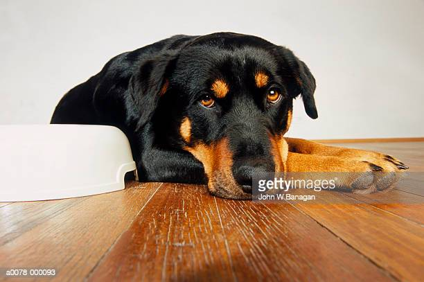 Rottweiler by Bowl