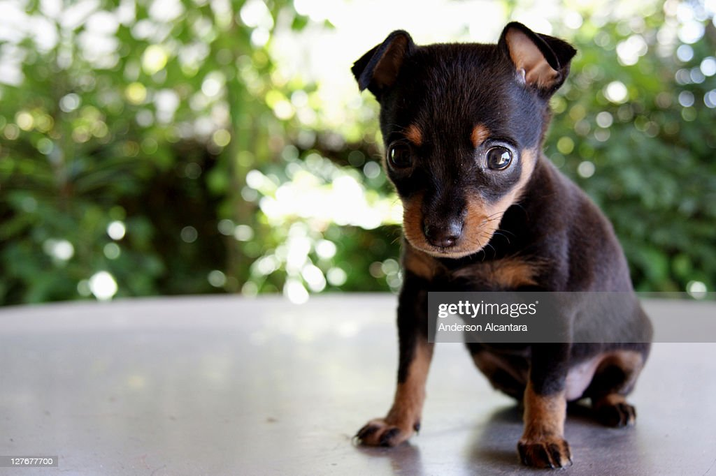 Rottweiler puppies : Stock Photo