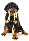 portrait of a purebred puppy rottweiler with leash in front of white background