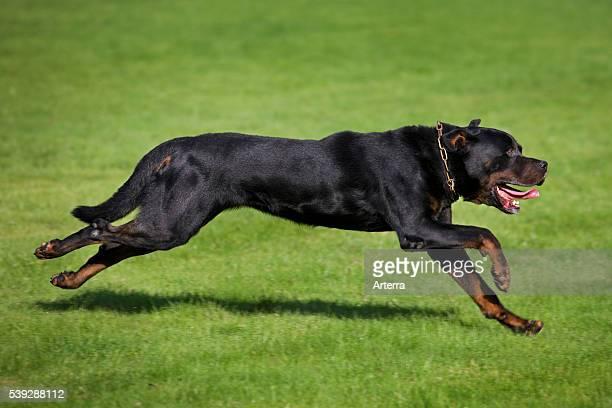 Rottweiler running in garden