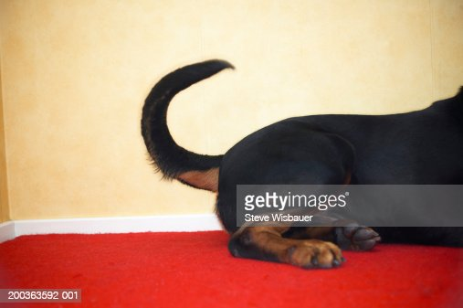Rottweiler wagging tail, hind section
