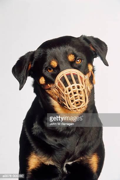 Rottweiler Wearing Muzzle