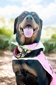 Rottweiler wearing pink cape