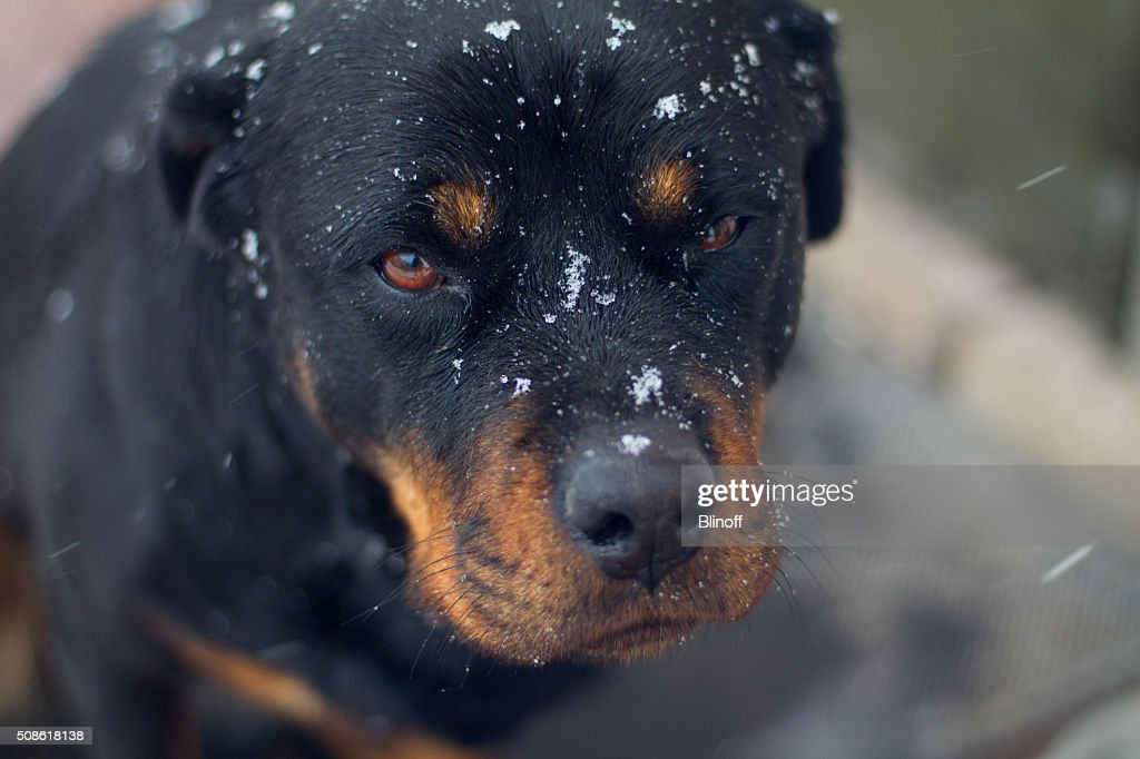 Rottweiler with snowflakes on the face : Stock Photo