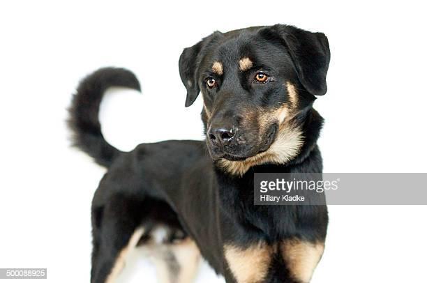 Rottweiler/Shepherd Mix