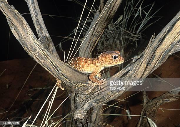 A Rough Knobtailed Gecko ( Nephrurus asper ) in the Central Australian Desert.