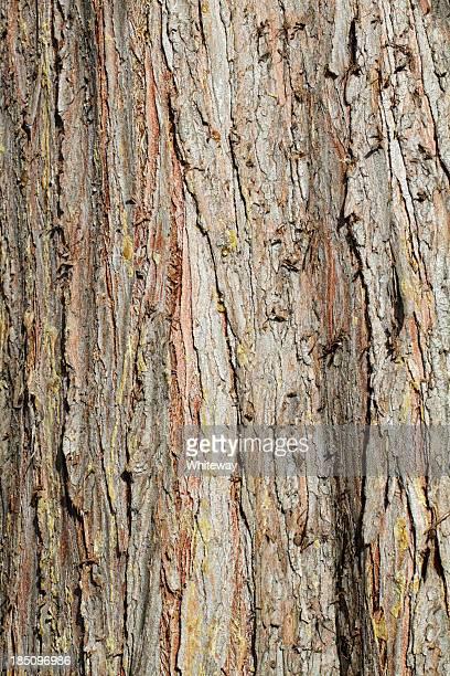 Lawson cypress Chamaecyparis lawsoniana red bark