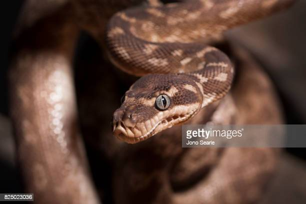 A Rough Scaled Python on the branch of a tree Rough Scaled Pythons are only found in the NorthWest Kimberley district of Western Australia