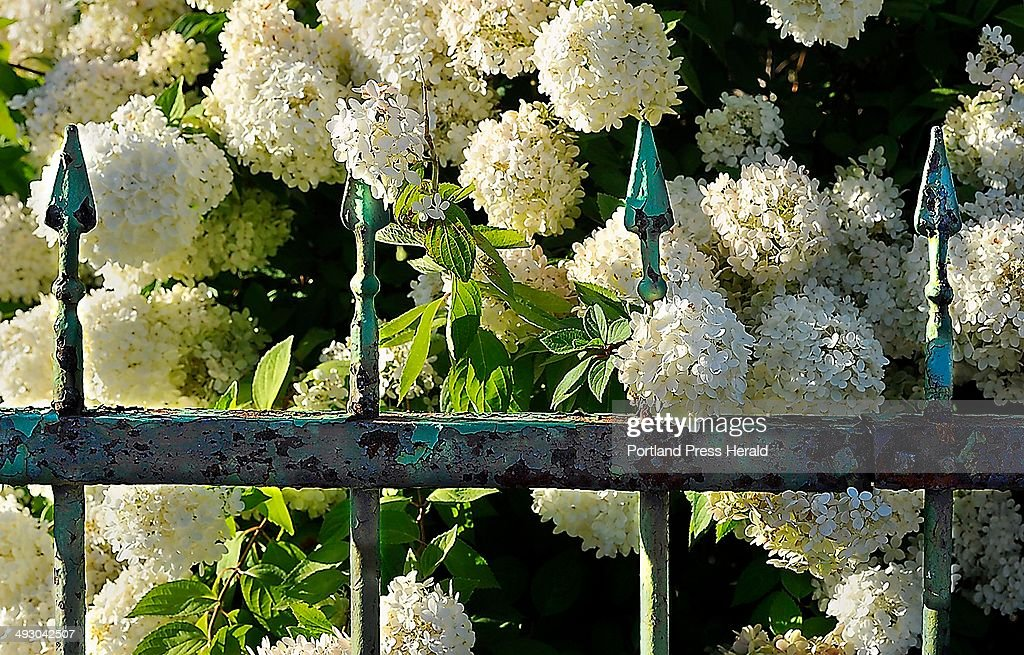 a rought iron fence in south portland frames brightly blooming white hydrangeas in the afternoon light