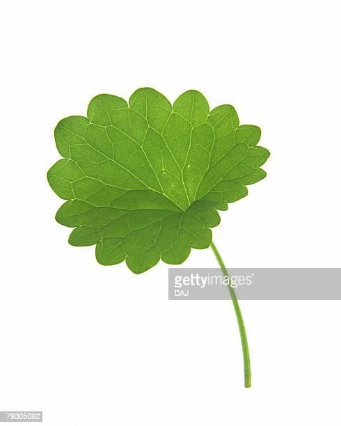 Round Leaf, Close Up