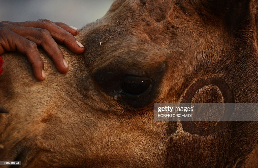 A round mark is seen as a camel owner holds its head steady at the camel fair grounds in the outskirts of Pushkar on November 20, 2012. The annual five-day camel and livestock fair, held in the town of Pushkar in the state of Rajasthan is one of the world's largest camel fairs, and apart from buying and selling of livestock it has become an important tourist attraction. AFP PHOTO/Roberto Schmidt