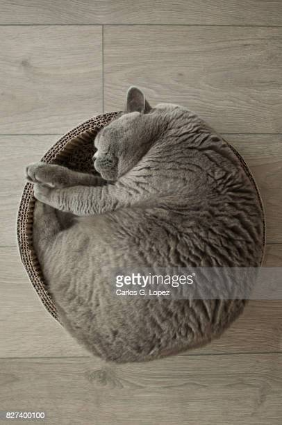 Rounded curled up British Short Hair cat on cat bed