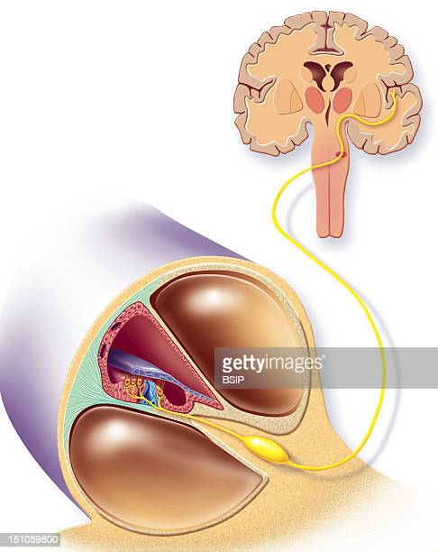 Route Of The Corti's Organ To The Auditory Area Of The Brain Representation Of The Auditory Organ The Cochlea Purple Cochlear Canal Pink Containing...