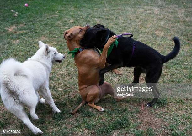 Rover Sitter Hailey Colebank's dog Summit right tackles Lucy center as Zola left gets in on it in Colebank's backyard July 12 2017 in Westminster