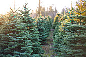 A row of beautiful and vibrantly green christmas trees with the sun beating down on them on a cold winter evening.