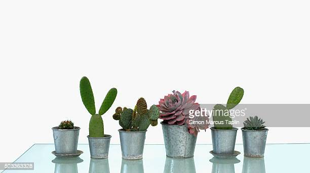 Row of Cactuses