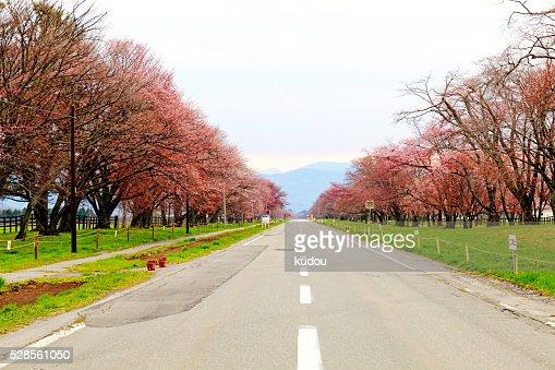 Row of cherry blossom trees of Shizunai : Stock Photo