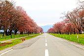 Row of cherry blossom trees of Shizunai.