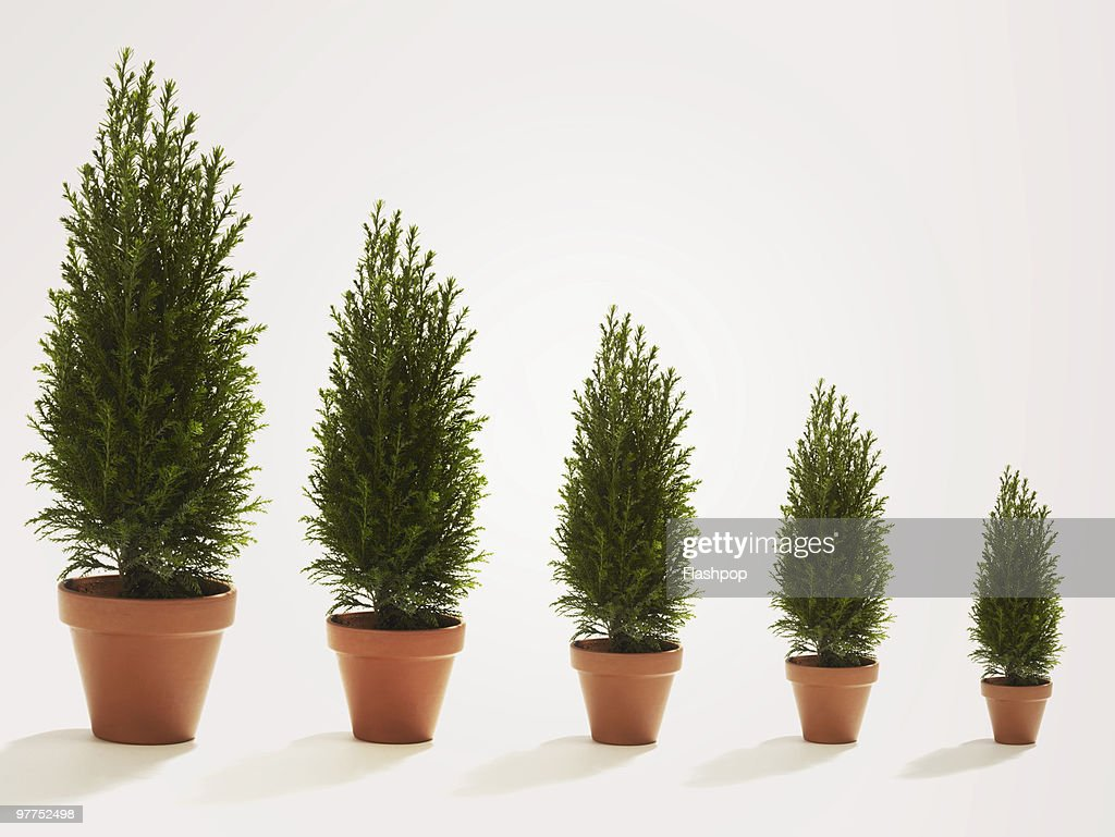 Row of conifer trees growing in size : Stock Photo