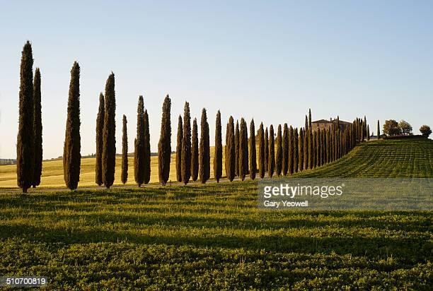 Row of Cypress Trees by Farmhouse
