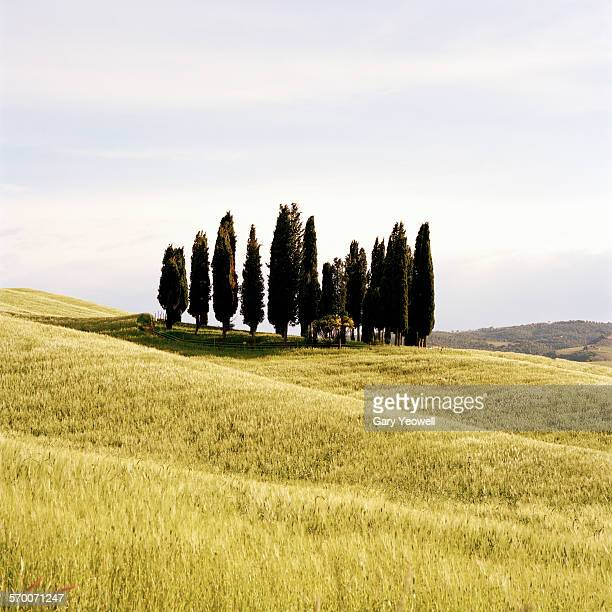 Row of Cypress trees in a field