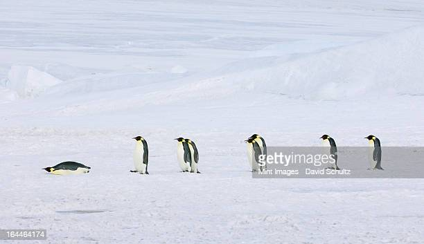 A row of Emperor penguins walking across the ice and snow, in single file. One lying on its stomach sliding along.