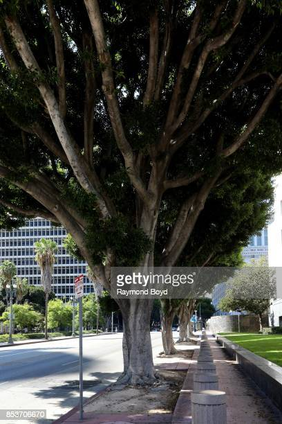 A row of ficus trees on Temple Street downtown in Los Angeles California on September 10 2017