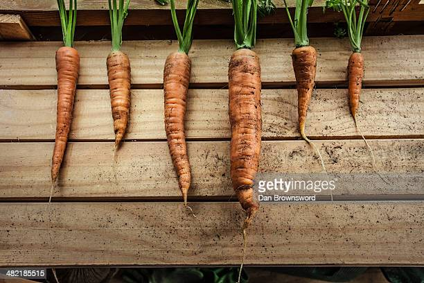 A row of freshly harvested carrots in garden shed