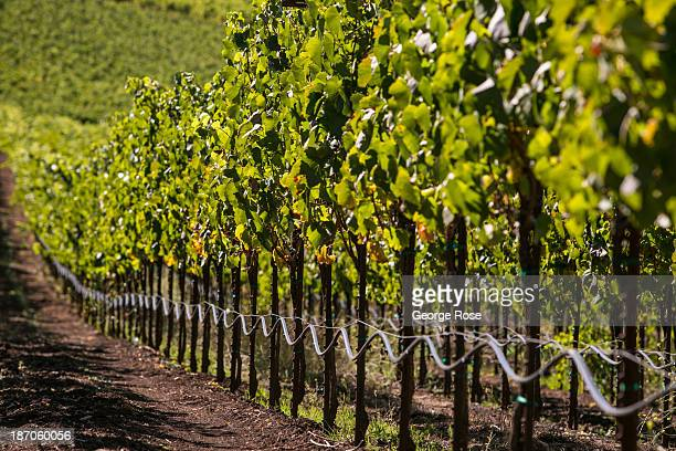 A row of hillside merlot is viewed at a Sonoma Valley vineyard on September 24 near Santa Rosa California The annual grape harvest is a favorite...