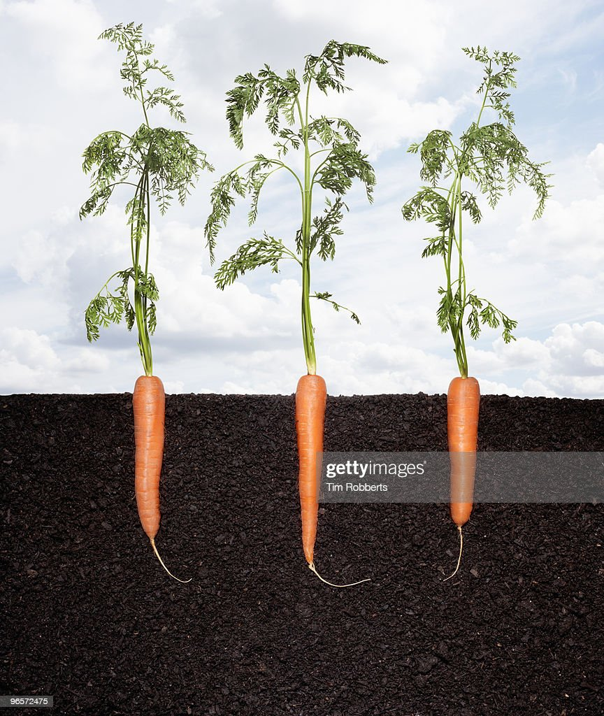 Row of organic carrots growing in soil. : Stock Photo